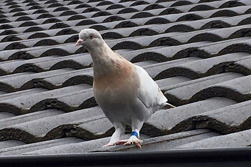 Pigeon's life to be spared in Australia after leg band declared fake