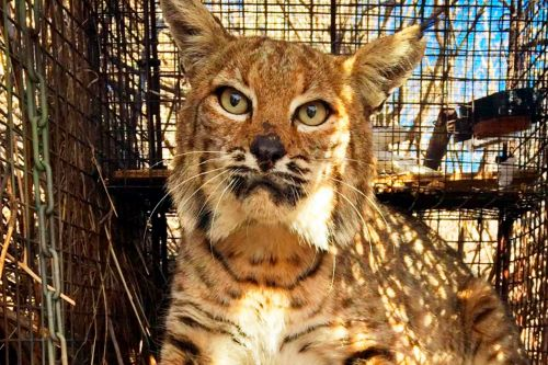 Bobcat that survived California wildfire dies after being hit by car