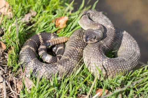 Massive rattlesnake makes 'unusual' appearance on golf course