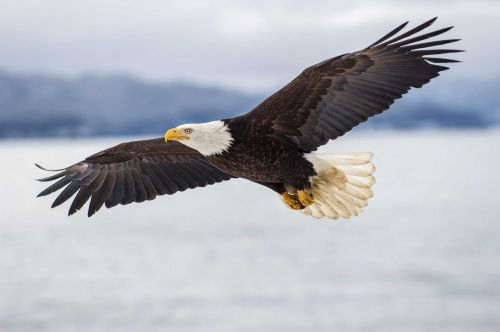 Bald eagle shows air superiority, sends drone into lake