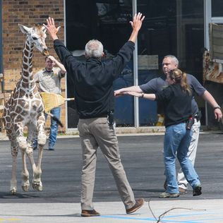 Young giraffe makes brief escape at Fort Wayne zoo