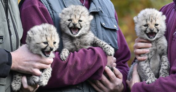 3 cheetah cubs make public debut at German zoo