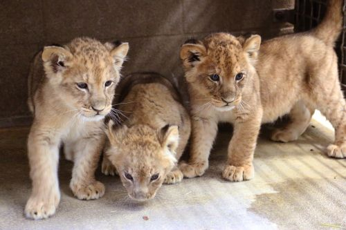 Blank Park Zoo lion cubs names revealed