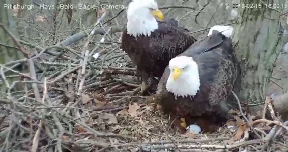 Two eggs now in Hays bald eagle nest; live cam running 24/7
