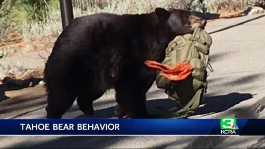 Officials: Tahoe bears are walking into picnic areas without fear