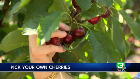 Cherry harvest in full swing, despite recent rain damage