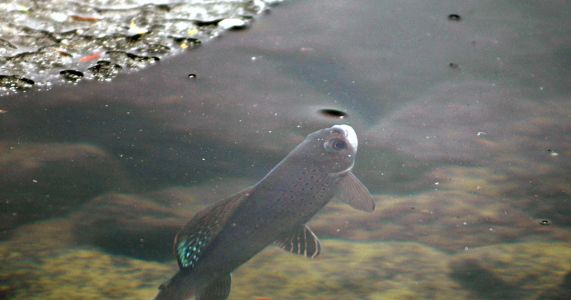 Judge told to consider protections for Montana grayling fish