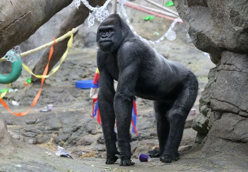 Gorilla's Birthday at Franklin Park Zoo
