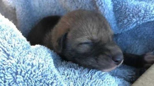'Abandoned puppy' rescued by hiker turns out to be a coyote