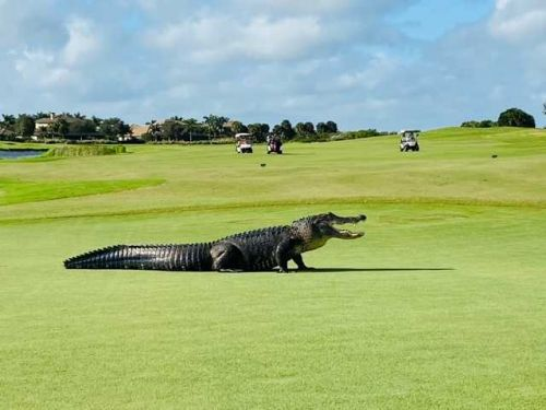 VIDEO: Monster alligator patrols the fairways at Florida golf course