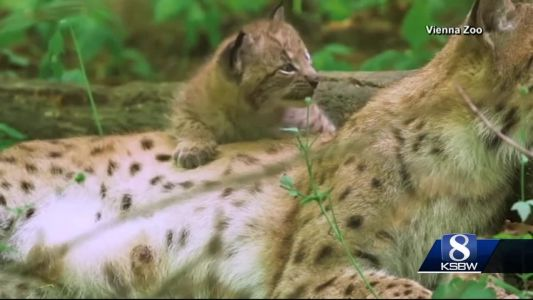 Animal Stories with Dan Green: meet the lynx cubs