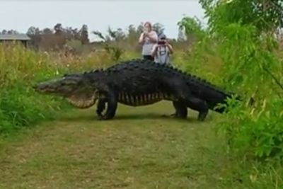 This giant alligator is downright terrifying