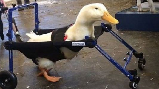 New England company develops wheelchair for duck born with leg deformity