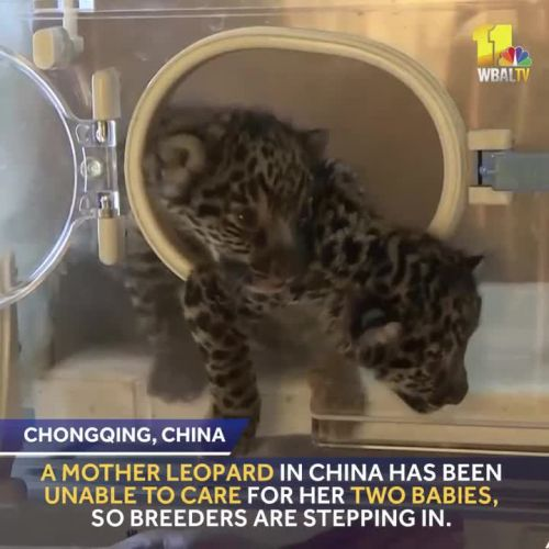 Breeders care for leopard cubs abandoned by mother