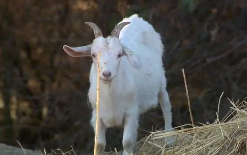 California town launches 'Goat Fund Me' to prevent wildfires