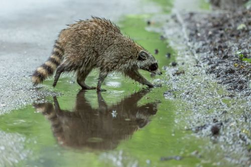 Video shows police running over possibly rabid raccoon