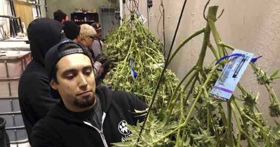 Oregon admits lack of oversight of medical-marijuana program