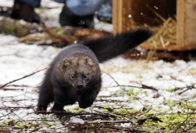 Rare weasel-like mammal makes a comeback in Washington state