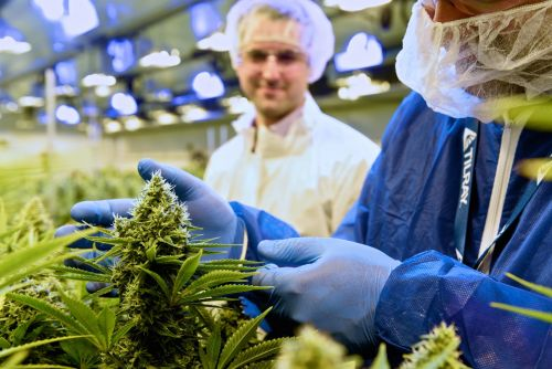 The cannabis producer Tilray is tanking as its IPO lock-up period expires