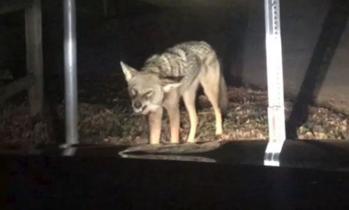 NC man, daughter recovering from coyote attack