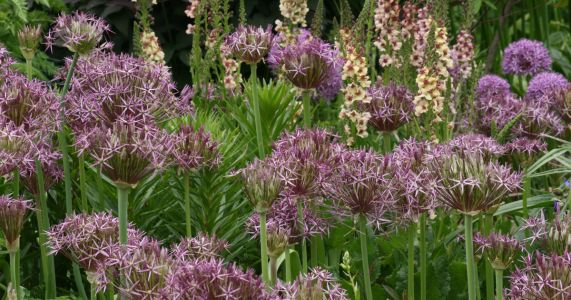 Plant these ornamental allium bulbs now for springtime bursts of giant blossoms