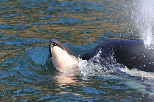 17 days and 1,000 miles later, grieving orca lets go of her dead calf