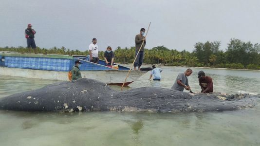 Researchers Find 115 Plastic Cups In Dead Whale's Stomach