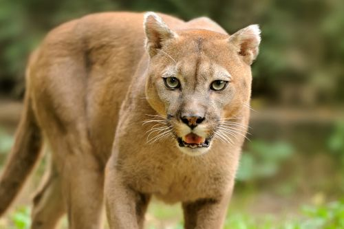 8-year-old boy mauled by mountain lion while playing outside his home
