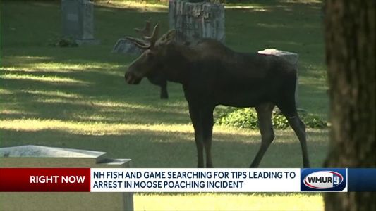 NH officials try to track down moose poacher