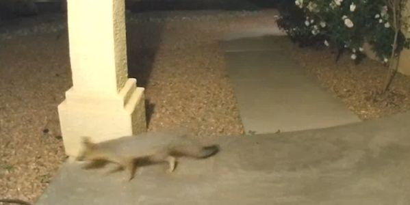 Fox spotted on the prowl in NE Heights