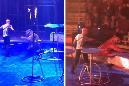 Circus tiger collapses with seizures mid-show