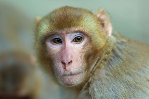 Wild monkey population carrying rare, deadly virus could double in Florida, experts say