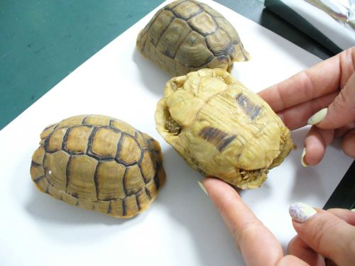Man tried to smuggle tortoises through airport by disguising them as pastries