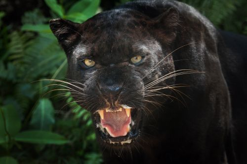 No, a black panther is not roaming Scotland
