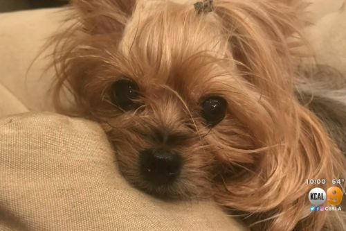 Yorkie crushed by FedEx driver who threw package over fence, family says