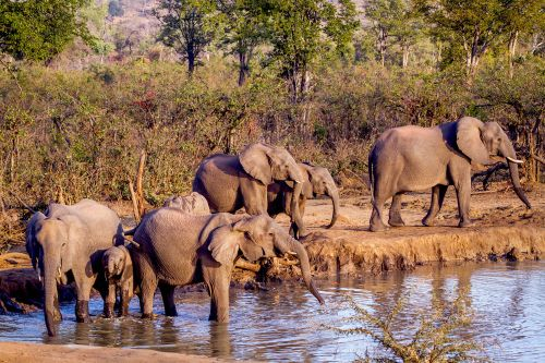 Suspected rhino poacher trampled to death by breeding elephants while running away from cops