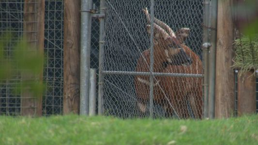 Critically endangered bongo calf named Taylor Swift escapes zoo enclosure