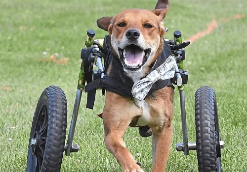 Pet Tales: Inspirational beagle in the running for Hero Dog Award